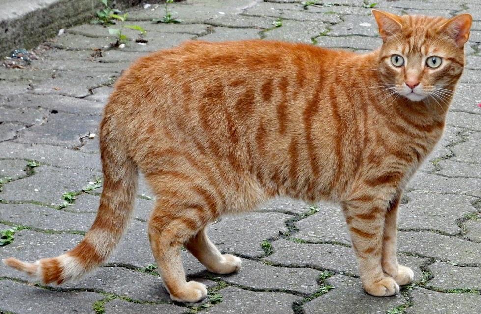 курдюк у кота