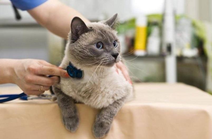 коронавирус у кота