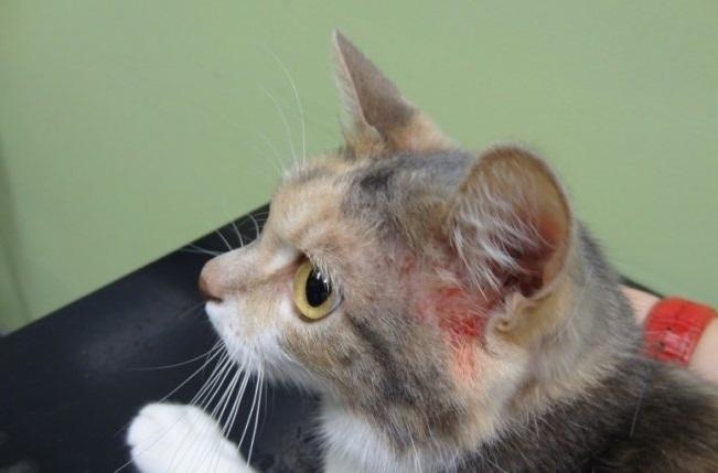 расчесы у кота