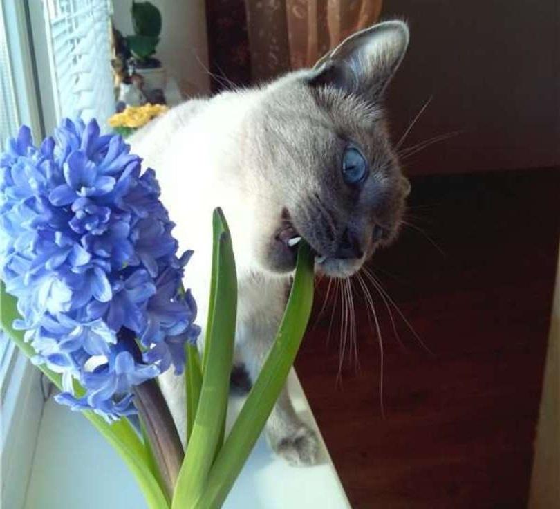 кот грызет гиацинт