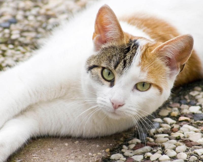 порода кошек эгейская