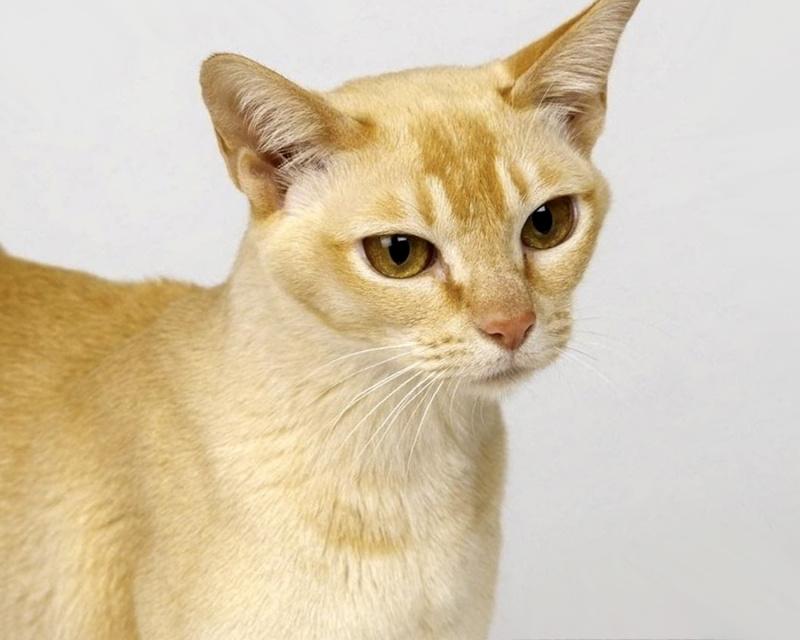 Цейлонская кошка Ceylon