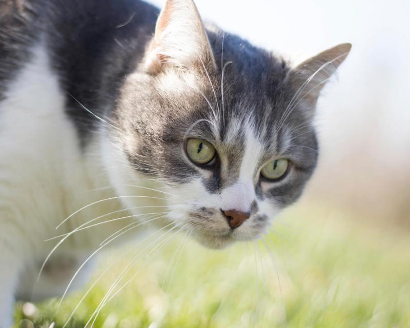 Эгейская кошка Aegean Cat