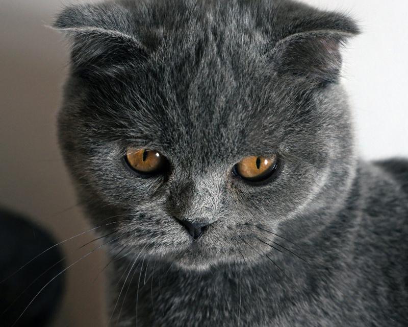 порода шотландская вислоухая кошка