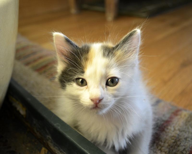японский бобтейл котенок
