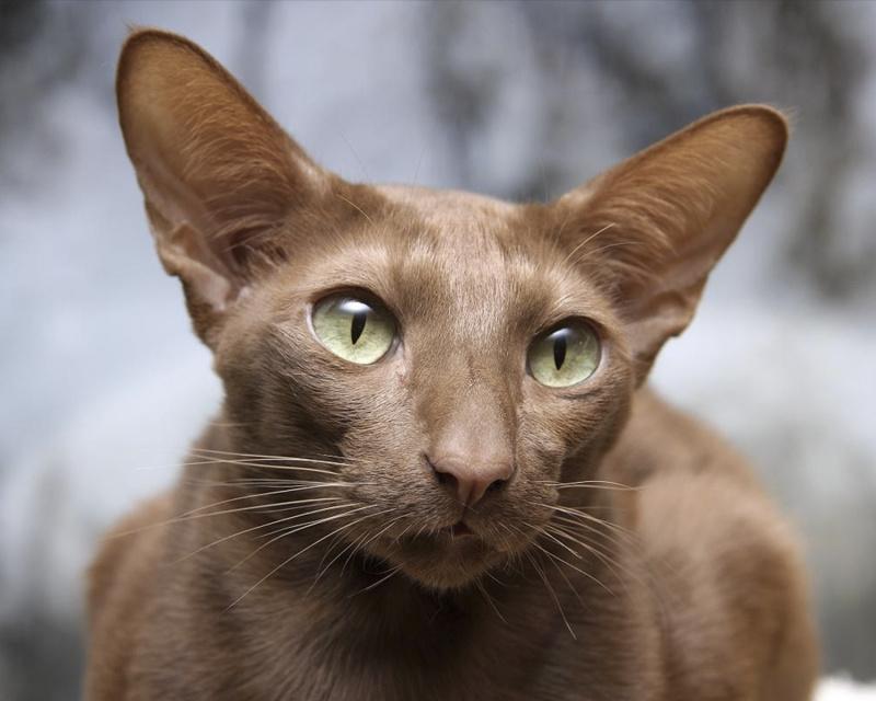 Яванез (яванская кошка) Javanese