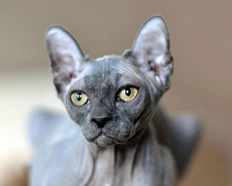 Эльф Elf cat