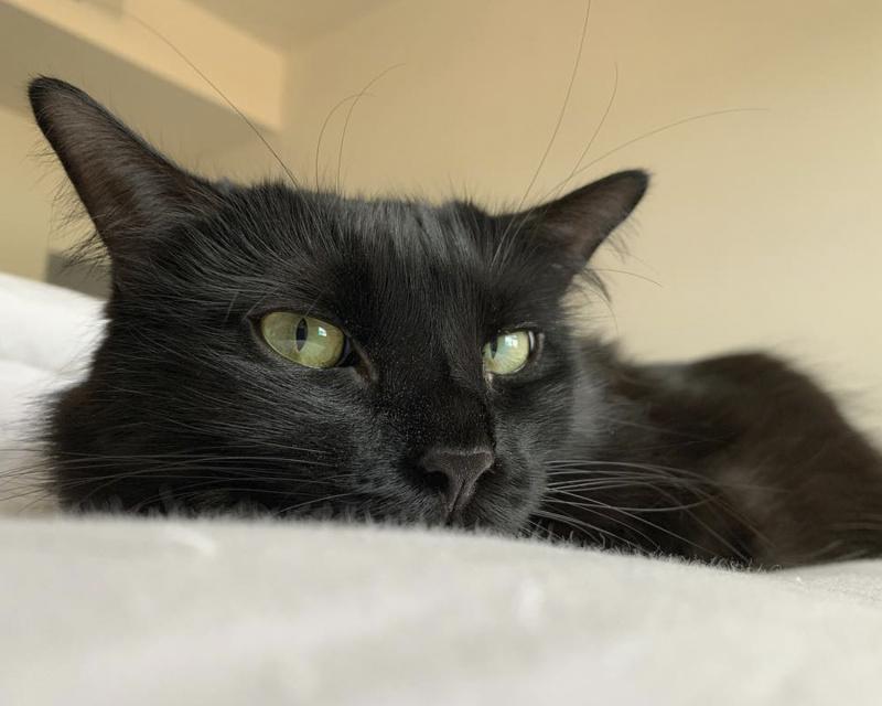 шантильи-тиффани кошка