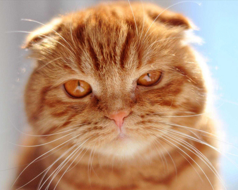 Шотландская вислоухая кошка (Скоттиш фолд) Scottish Fold, Scot Fold