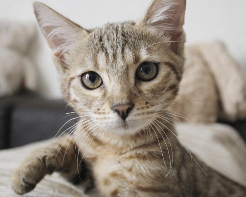 чаузи котенок