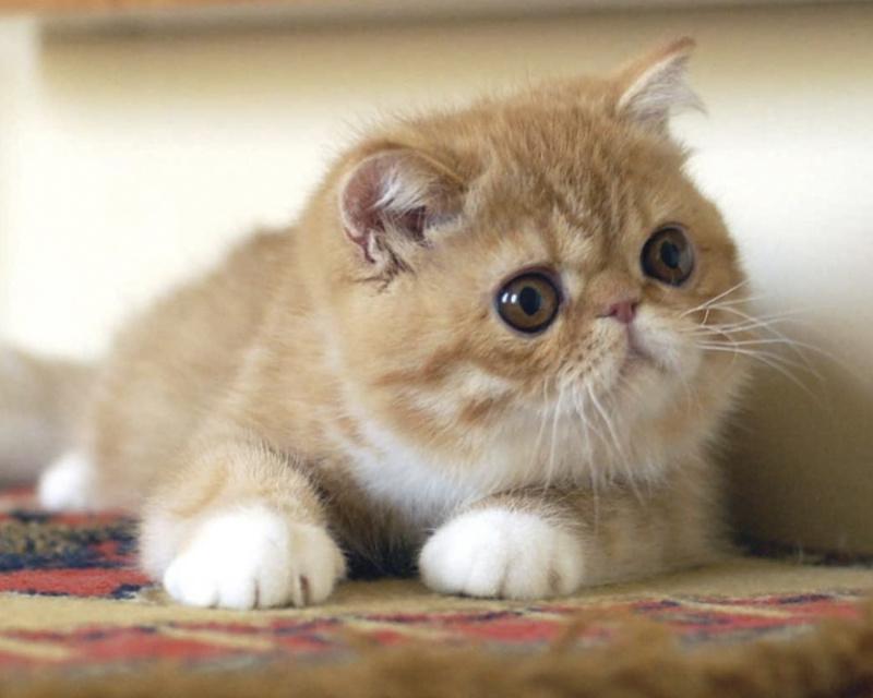 экзотическая короткошерстная котенок