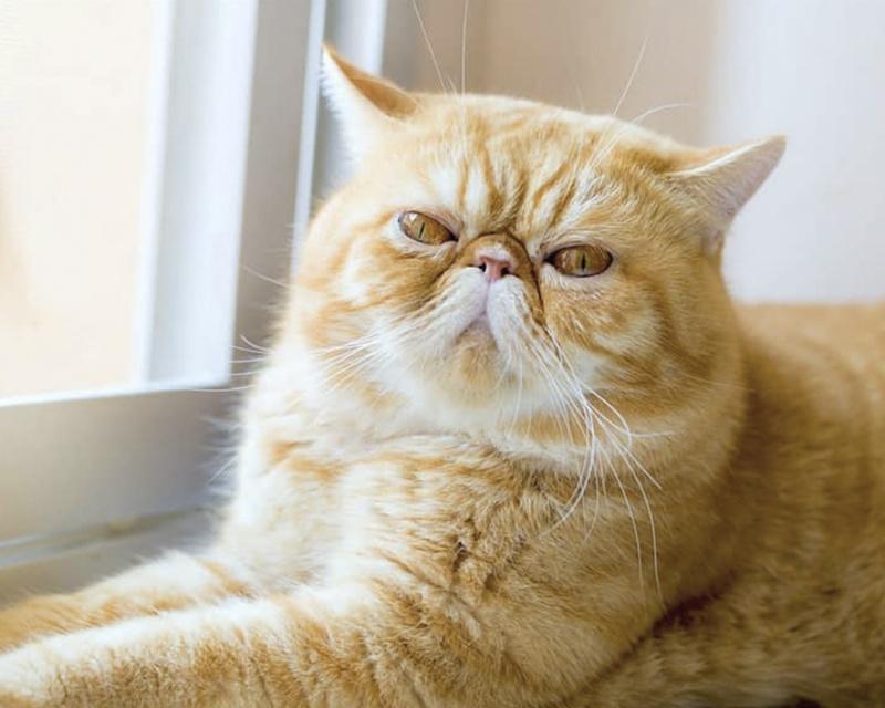 кошка экзотическая короткошерстная фото
