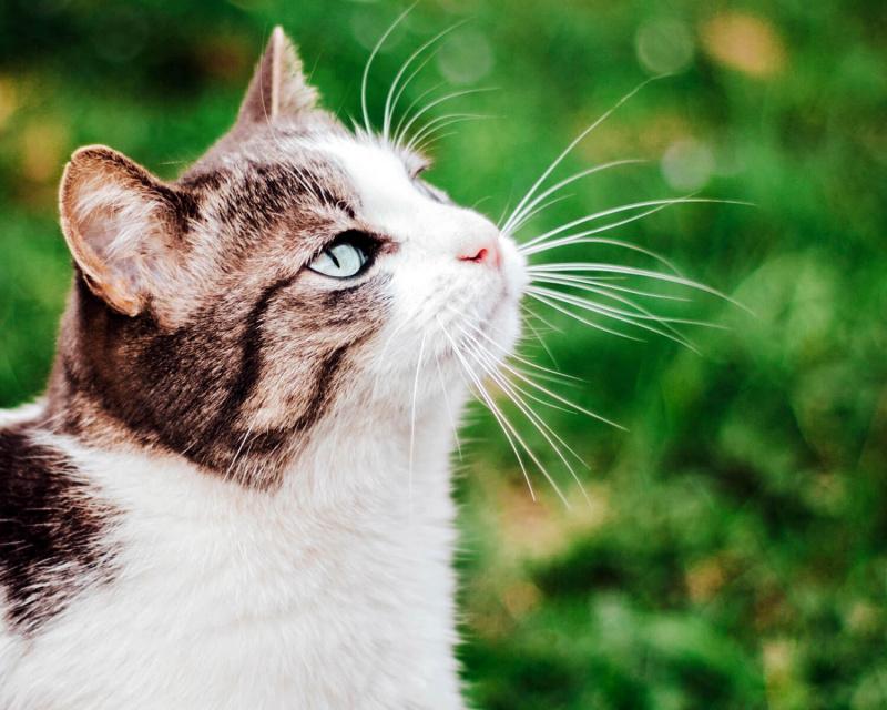 кошка эгейская