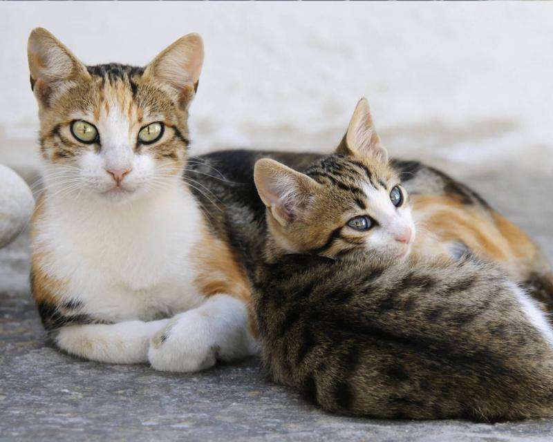 эгейские кошки