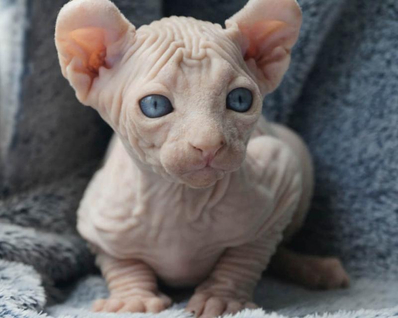 эльф кошка