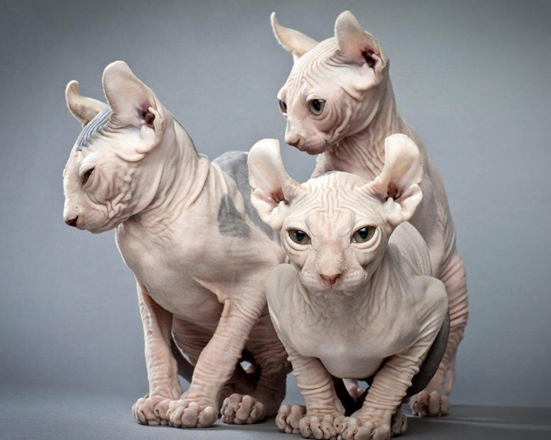эльф кошки