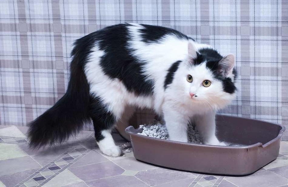 непроходимость кишечника у кошки