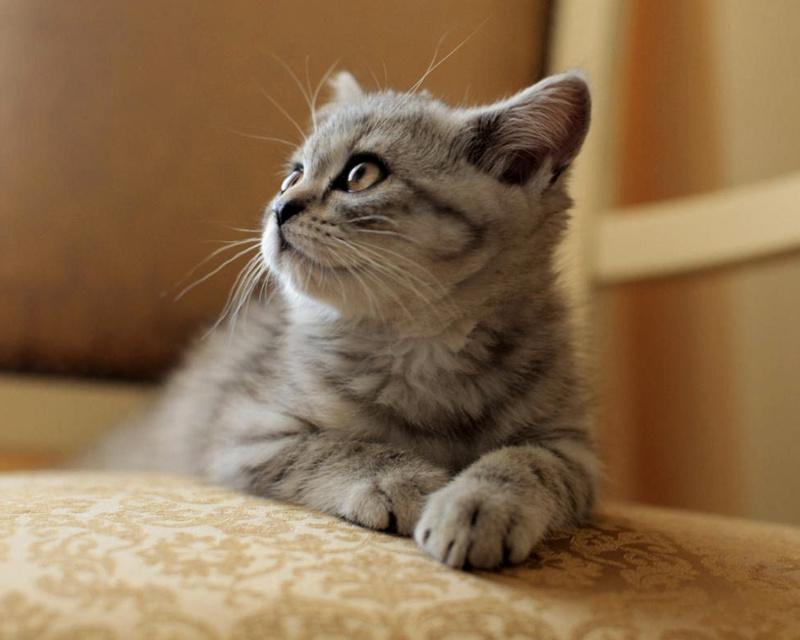 скоттиш страйт котенок