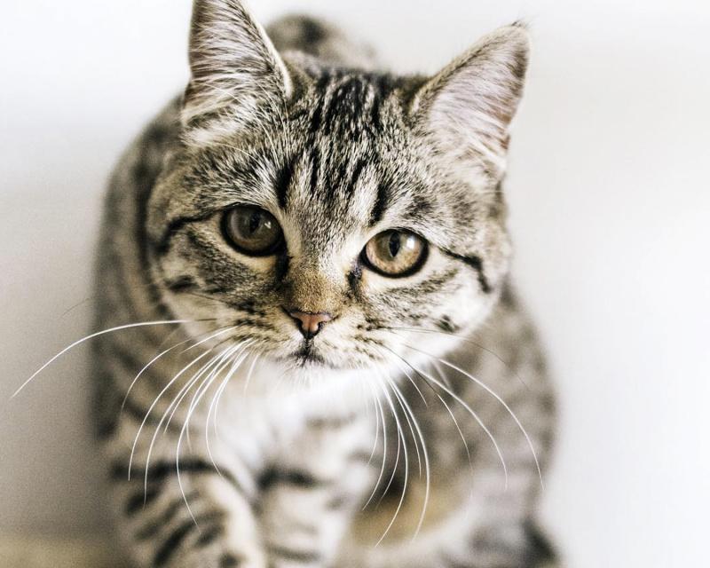 Шотландская прямоухая кошка (Скоттиш страйт) Scottish straight