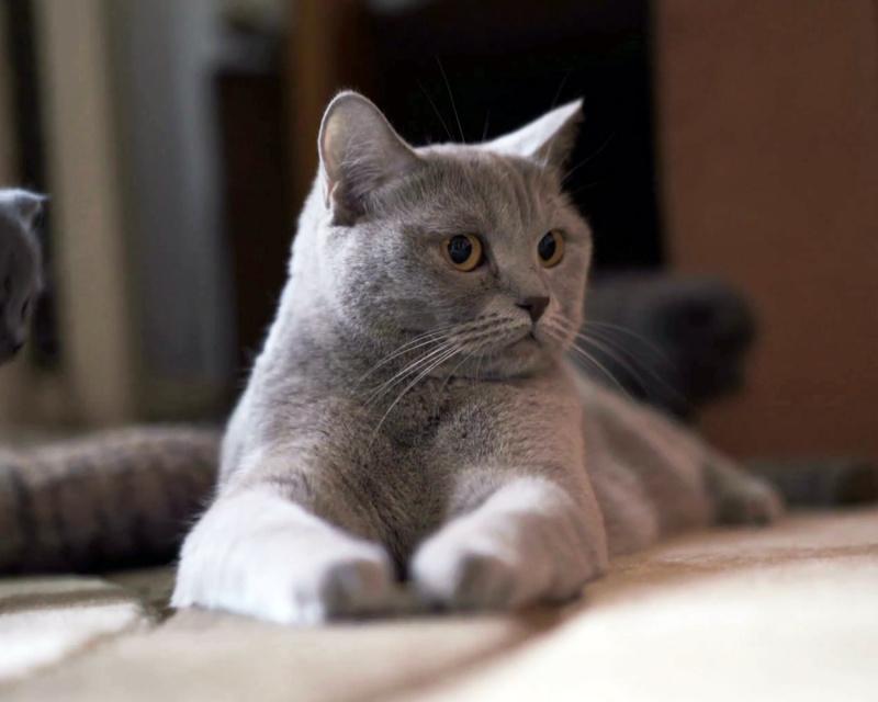 порода кошек шотландская прямоухая