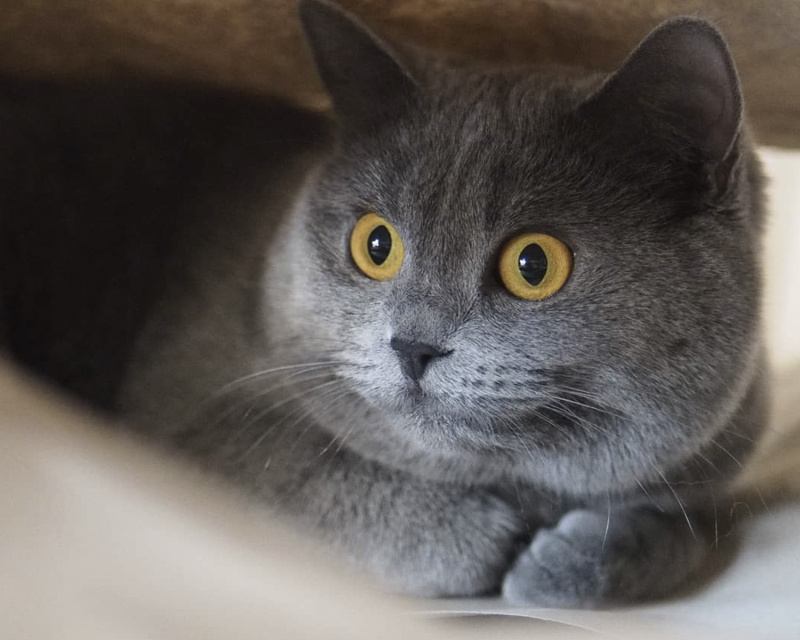 порода кошек шартрез фото