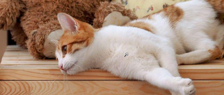 кот худеет