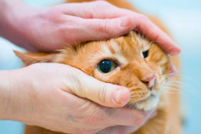 третье веко у кота