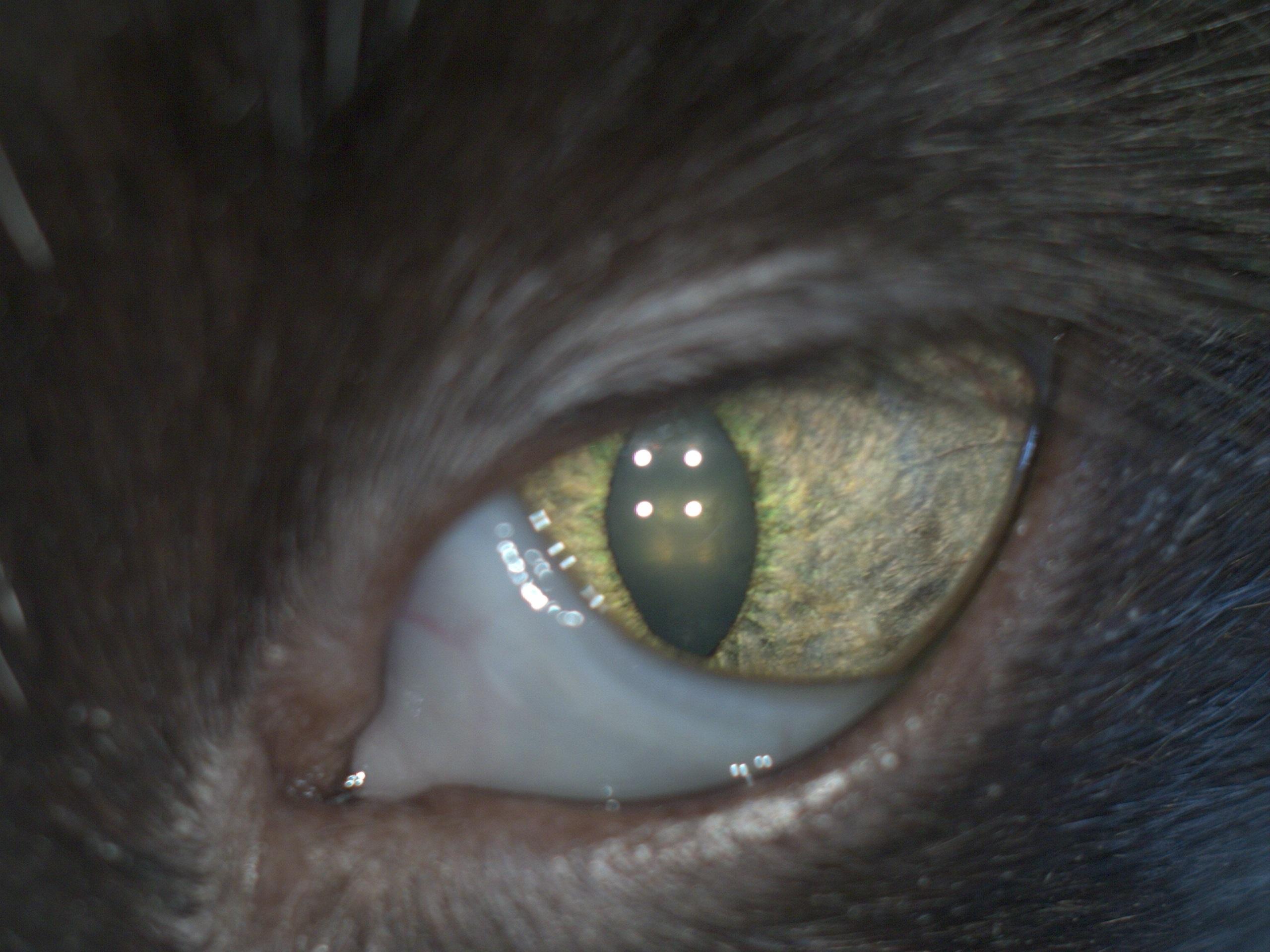 третье веко патология у кошки