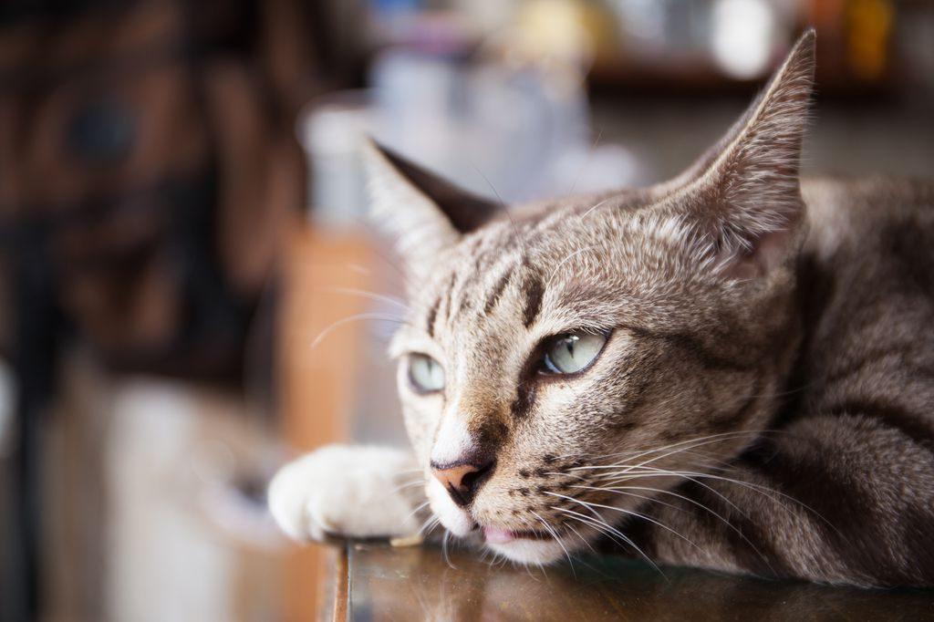 у кота пропал голос