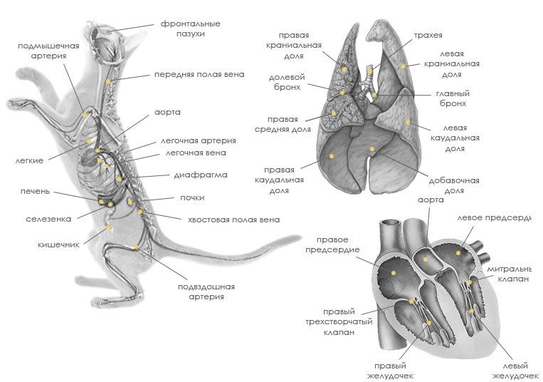 кровеносная система кошки