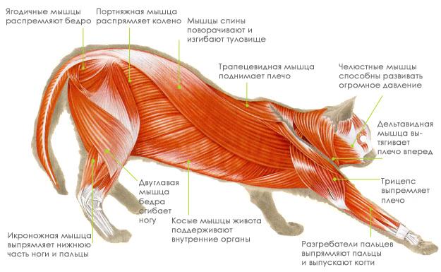 мышцы кошки
