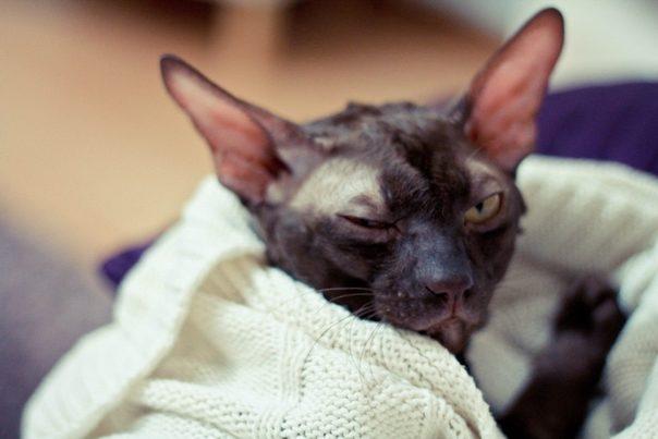 хламидиоз у кота