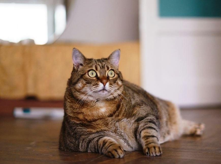 лишний вес у кота