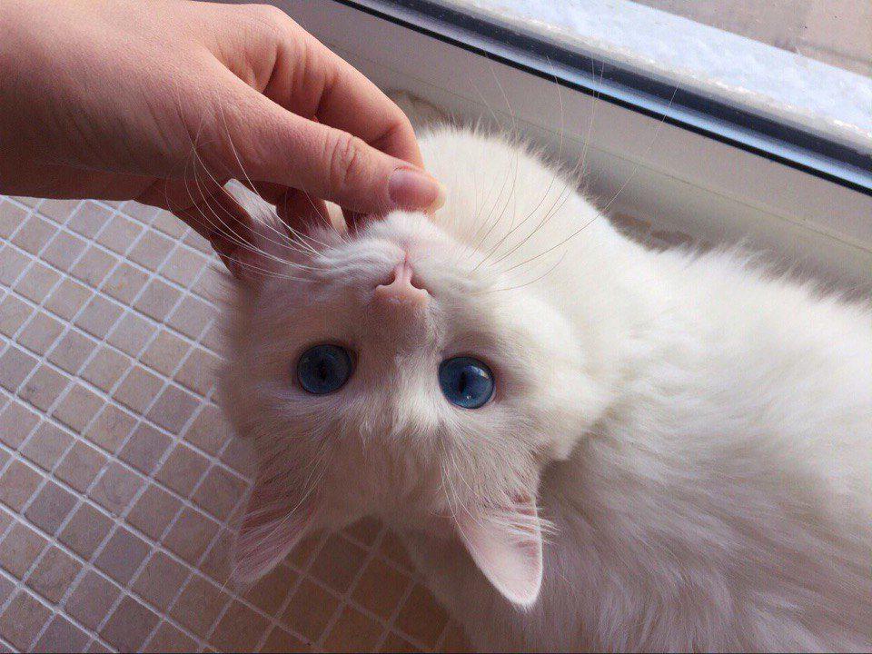 кошка- альбинос