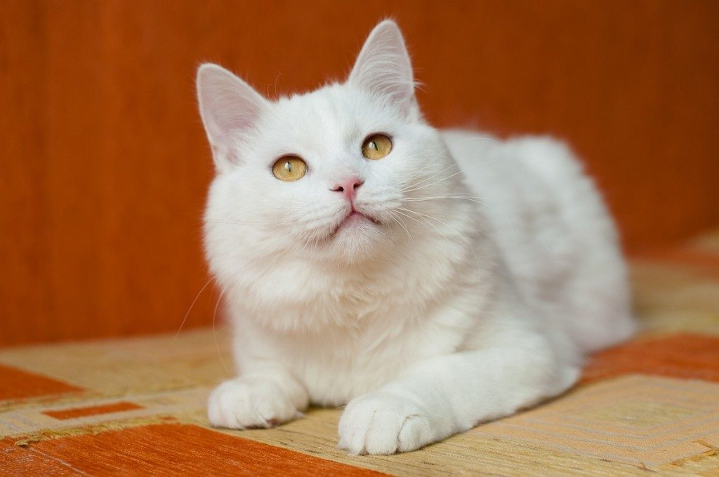 кот-альбинос