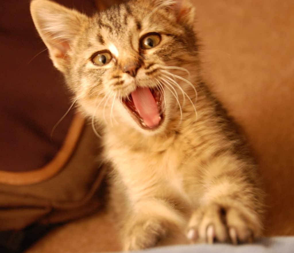 зубы у котят